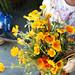 backyard isobel poppies poppy _MG_0544