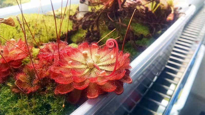 Drosera aliciae with flower stalk.