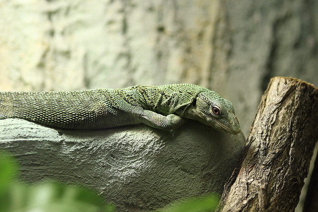 Green lizard on green rock