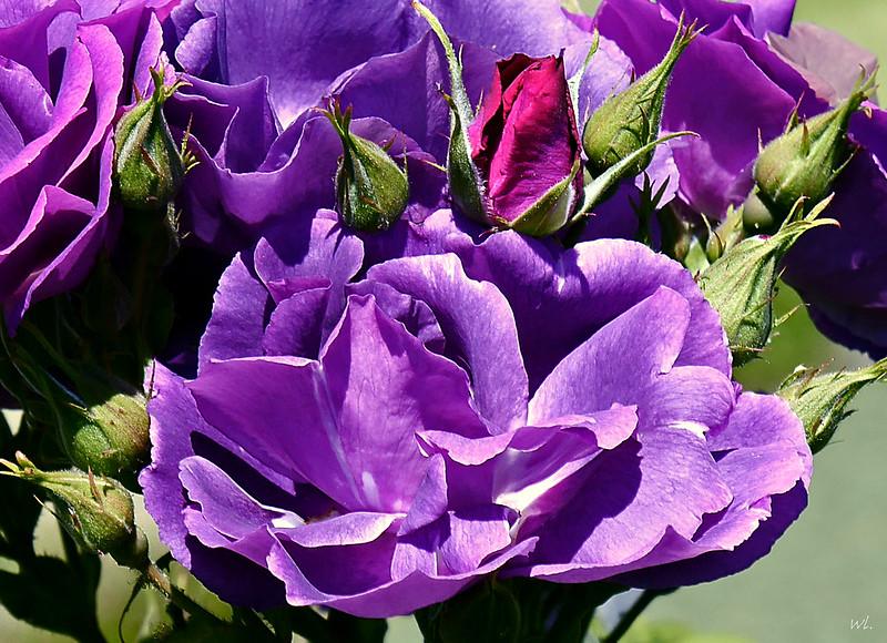 Роза сорта Рапсодия ин блу, фото фотография цветы