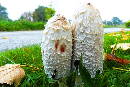 Herbst Oktober Pilze Pilze Schopftintling Coprinus comatus Spargelpilz Tintenpilz Familie Champignonverwandte Wiese Foto Brigitte Stolle Oktober 2015