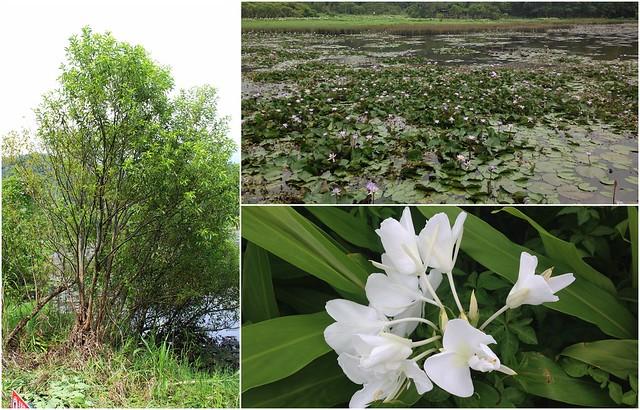 左:水社柳;右上:佈滿睡蓮的哭泣湖;右下:野薑花。攝影:廖靜蕙