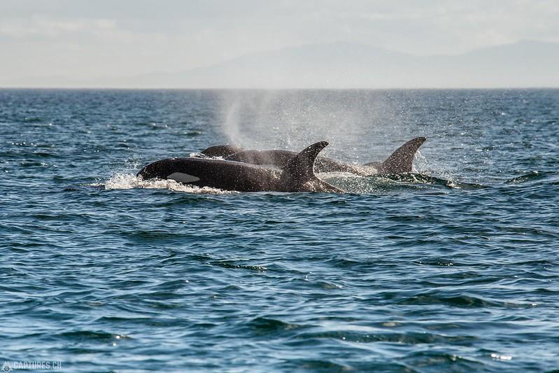 Orcas - Vancouver Island
