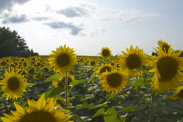 sunflower field rochester ny
