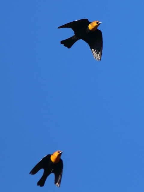 Yellow-headed Blackbirds 20161103