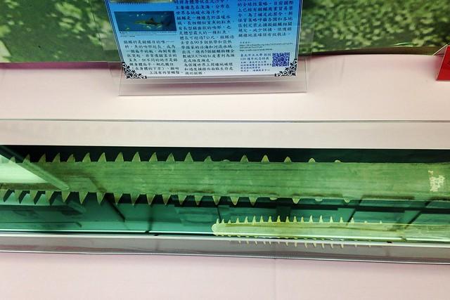 百年前的鯊魚劍(上),與現代的鯊魚劍。攝影:廖靜蕙