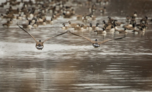 Photo of Canadian geese landing on water, taken by J. Scott Bruce