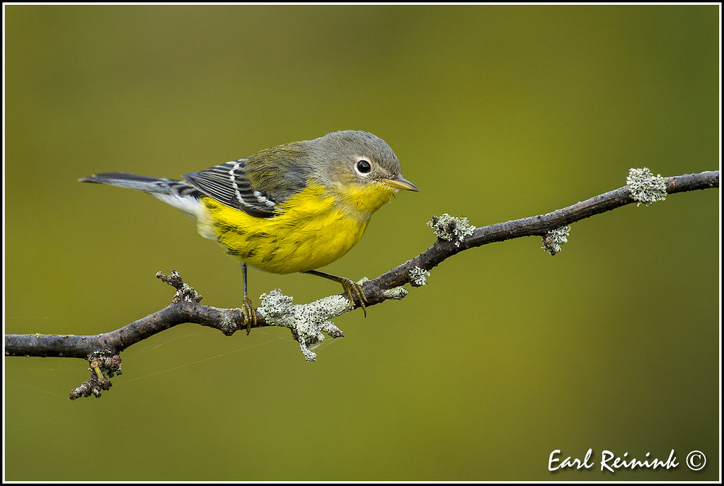 magnolia warbler fall - photo #20