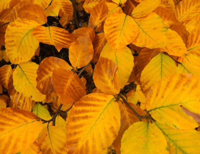 golden leaves near heath park