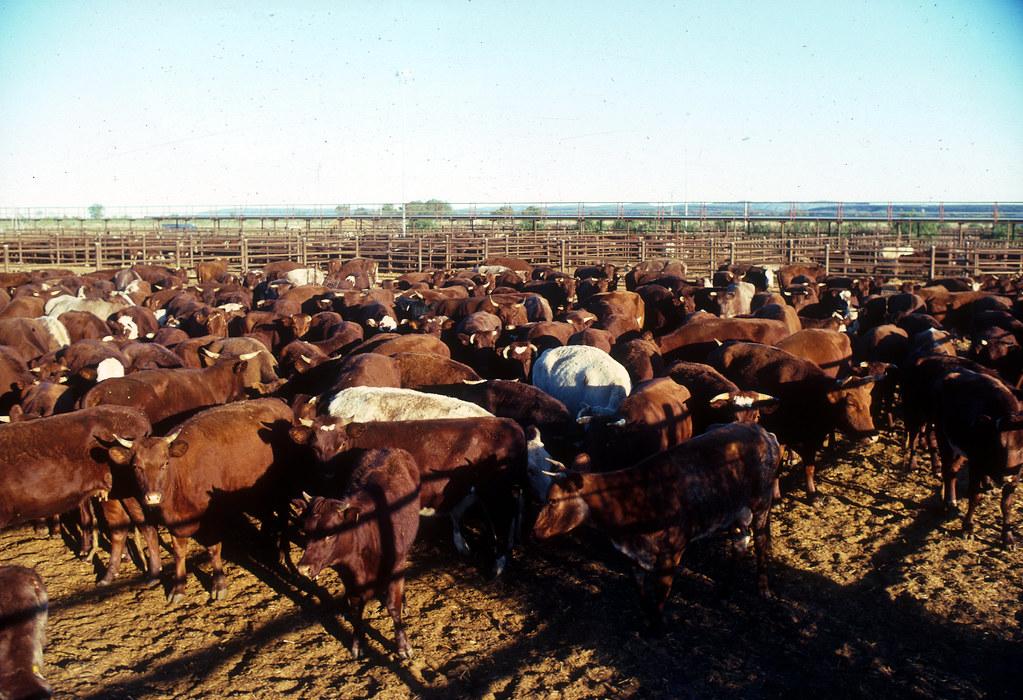 牛。畜牧業。Malcolm Paterson(CC BY 3.0)