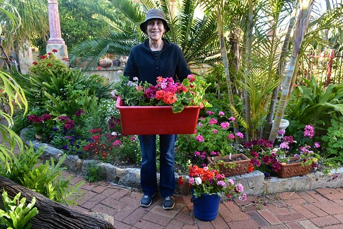 Jil Weaver with our donation of cuttings to the annual Geranium Society sale, 22 October 2016