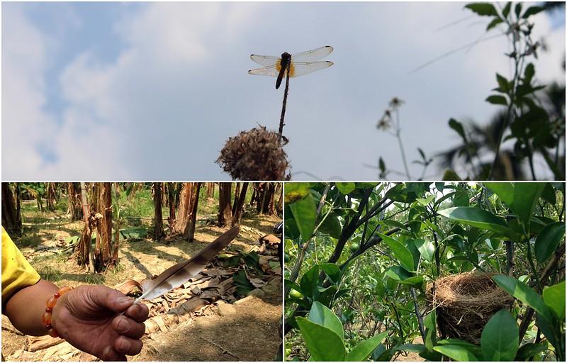 香蕉園內的生物多樣性。攝影:廖靜蕙。