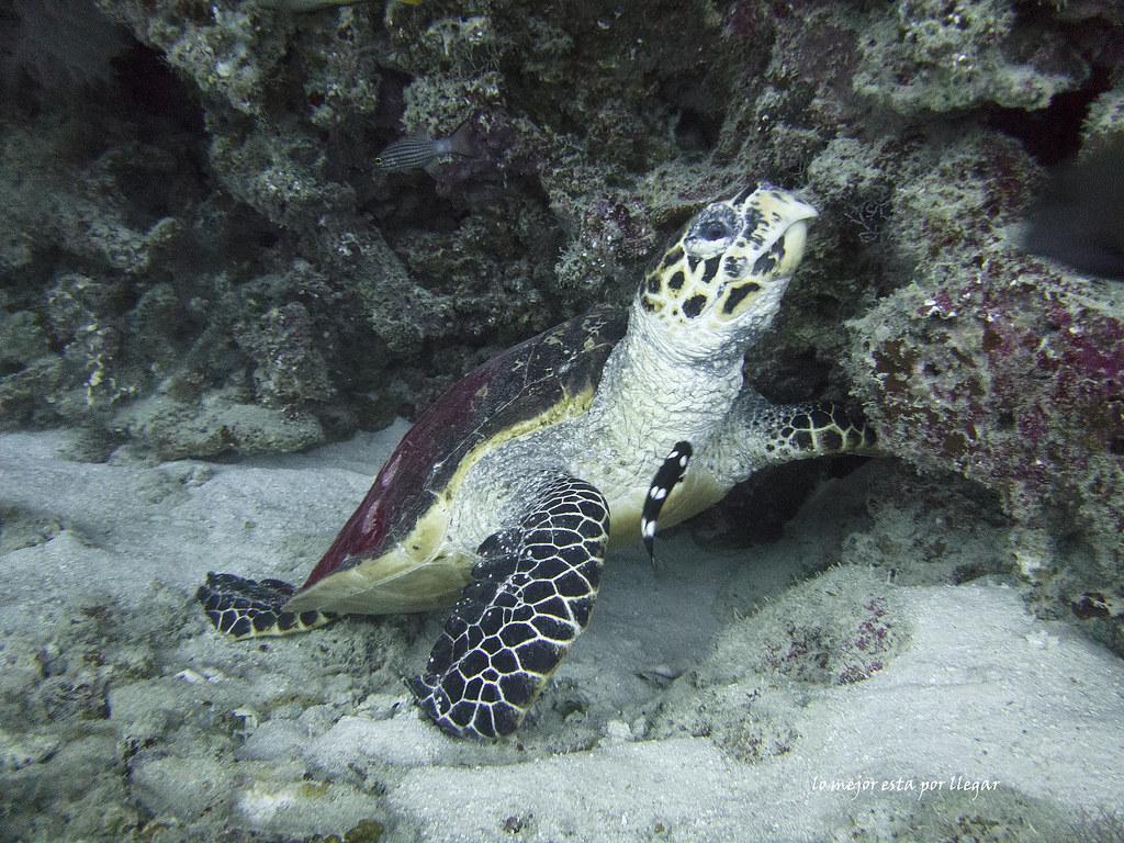 Tortuga buceando en Maldivas