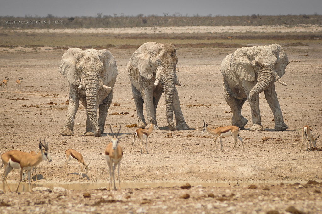 Etosha National Park - Elephants