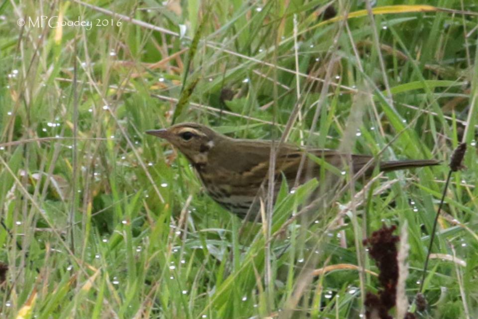 Olive-backed Pipit, Old Town, 26.10.16, Martin Goodey