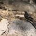 Boulder chat, Pinarornis plumosus, at Lake Chivero, Harare, Zimbabwe.