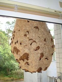 黃腳虎頭蜂正忙碌的將啣回的紙漿糊在蜂窩上,窩上深色部分即是混和有唾液的新築紙漿,攝影:陸聲山。