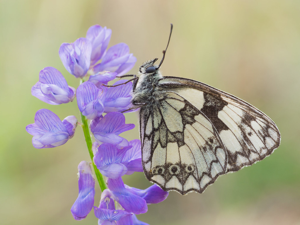 Polowiec szachownica (Melanargia galathea syn. Agapetes galathea)