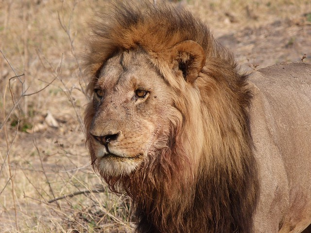 León macho en Savuti (Chobe, Botswana)
