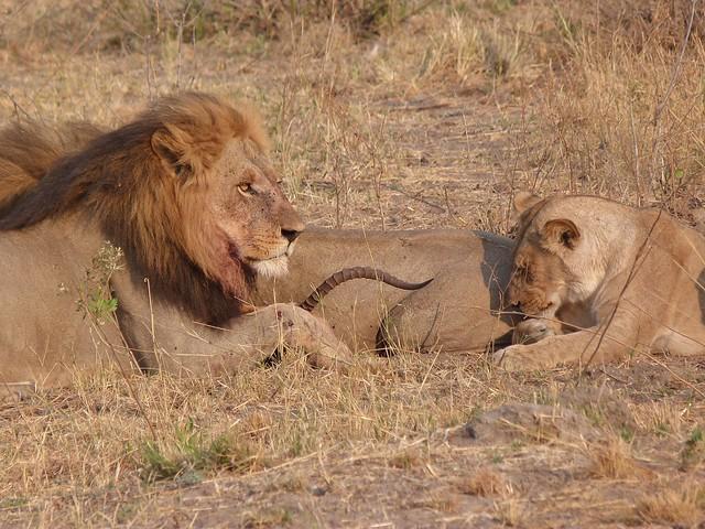 León comiendo un impala (Savuti, Botswana)