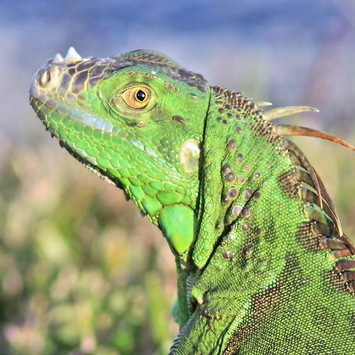 Green Iguana portrait 20161129
