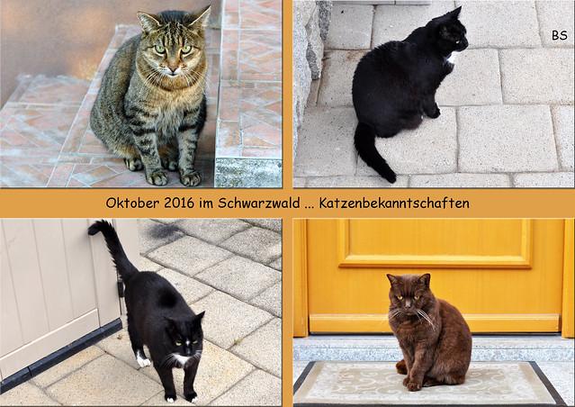 Kleine Schwarzwald-Tour, Oktober 2016 ... Katzen-Bekanntschaften ... Fotos: Brigitte Stolle