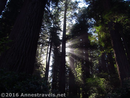Early morning sunshine through the redwoods in the Lady Bird Johnson Grove, Redwood National Park, California