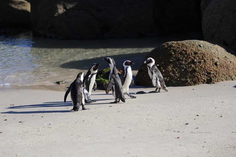 Boulders Beach Penguins South Africa