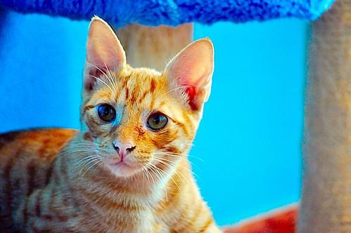 Jerry, gatito rubio guapo muy dulce y bueno, esterilizado, nacido en Abril´15 en adopción. Valencia. ADOPTADO. 20826623244_7db06626e5