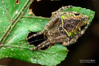 Orb weaver spider (Parawixia sp.) - DSC_4566