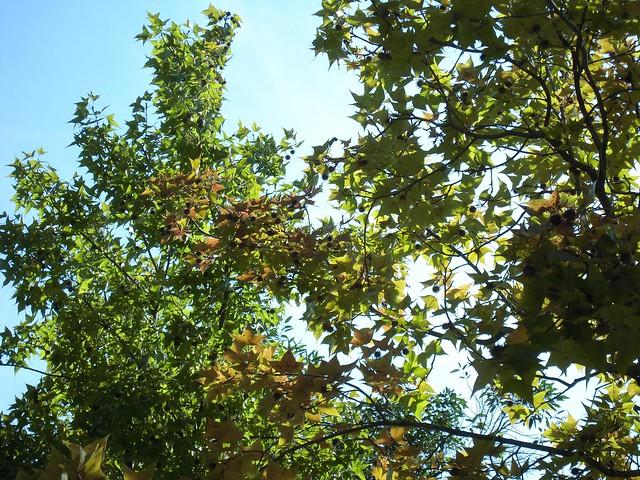 黃綠色的楓香葉。圖片攝影:文起祥。
