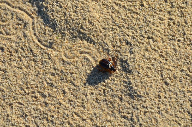 PN. Doñana, dunas, pinos y bichos 23073315799_ea26432fce_c