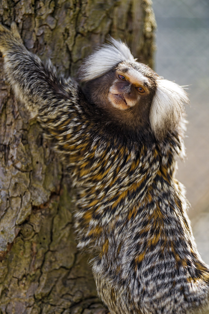 Marmoset clinging at the tree | Portrait of a marmoset ...