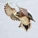Male America Widgeon