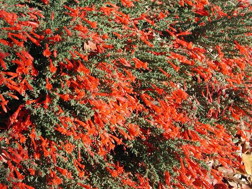 Zauschneria californica 11 6 01