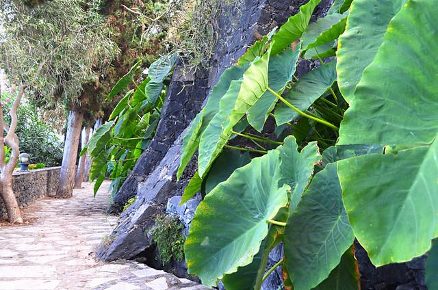 Yams, Los Lavaderos gardens, El Sauzal, Tenerife