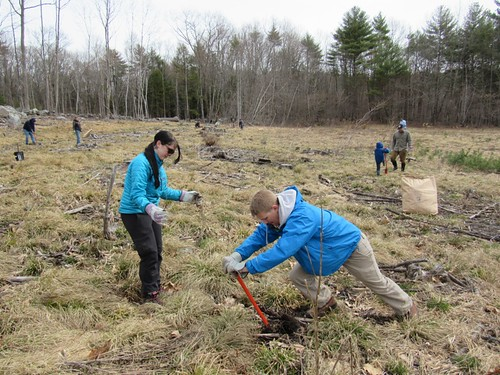 A team of two volunteers digging a hole and preparing to plant a native bare-root shrub