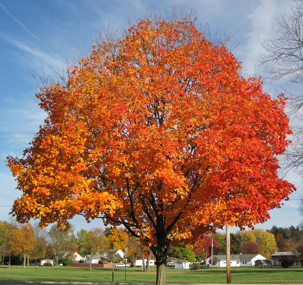 Acer Saccharum (sugar Maple Tree In Fall Colors) (country. Leather Living Room Chaise. Living Room Tegan And Sara Tabs. Microfiber Leather Sofa Living Room Furniture. Living Room Wikihow. Cheap Living Room Furniture Set Uk. Modern Living Room Furniture Philippines. Country Living Room Makeovers. Decorate Small Living Room Black Furniture