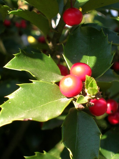 Holly in Bright Sunlight
