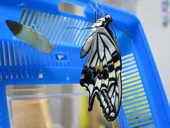 アゲハ蝶の羽化 2015.10.3