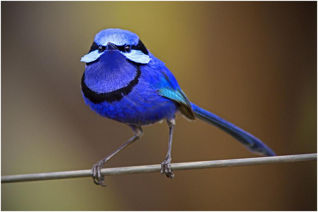 Blue wren bird