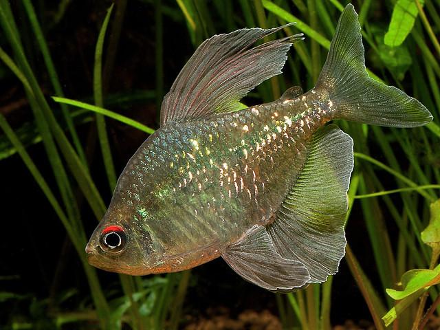 Бриллиантовая тетра, моенкаузия (Moenkhausia pittieri), фото фотография рыбки