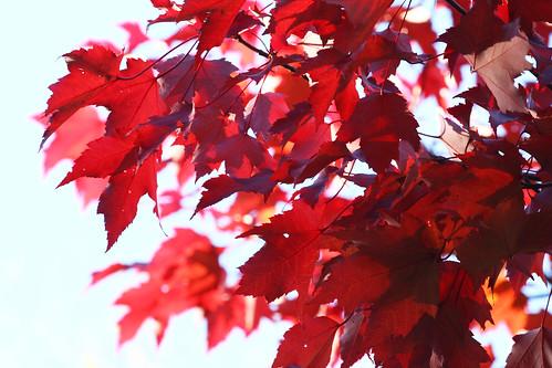 Las hojas de un arce en el monte aloya galicia espa 241 a te 241 idas de