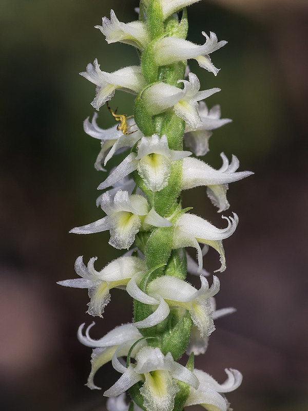Fragrant Ladies'-tresses orchid with crab spider