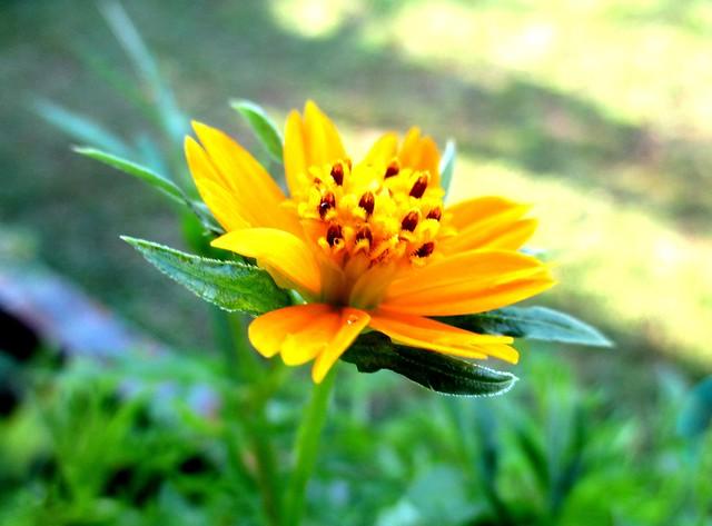 Ulam raja flower 2