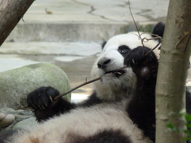 Oso panda de Chengdú (China)