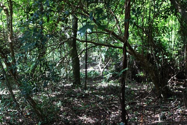 森林因梅花鹿吃小苗、踐踏減緩更新速度。圖:墾丁國家公園管理處提供