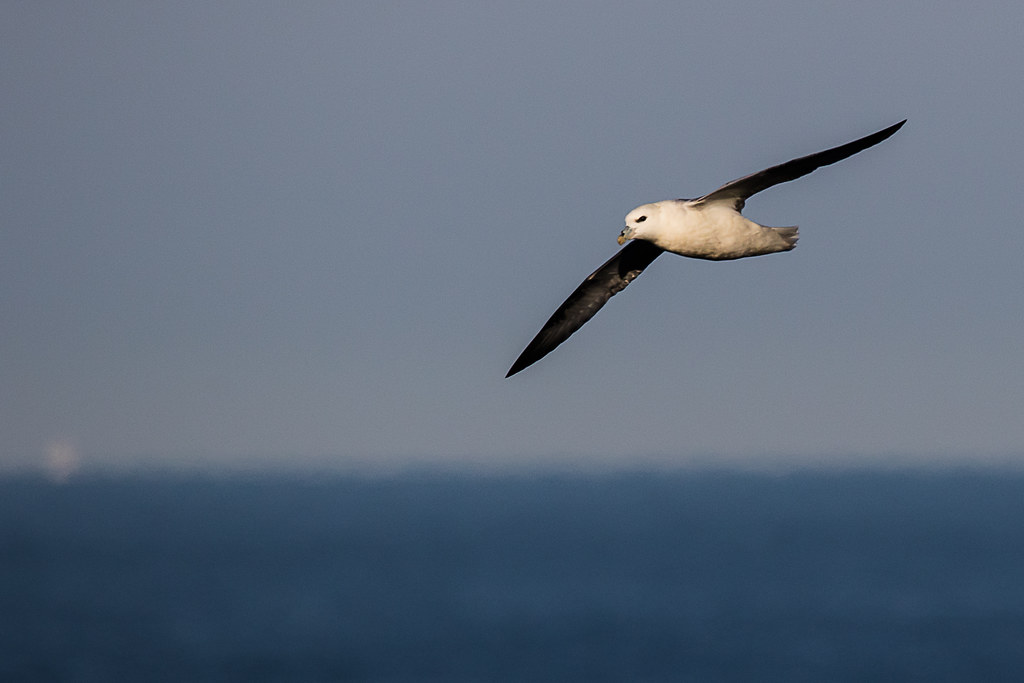 Unexpected bird | Northern Fulmars used to nest in the ... Nest