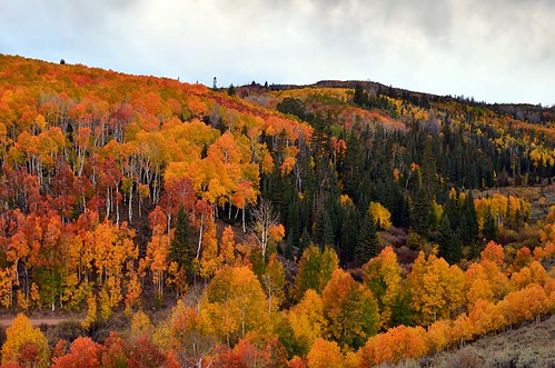 Aspens in the Fishlake National Forest