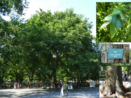 Hare Krishna - American Elm | by GammaBlog